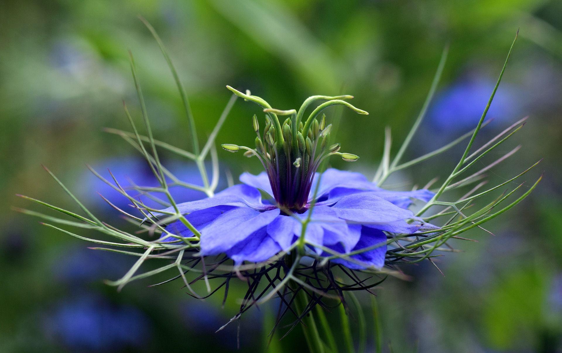 Kwiat i ziarna czarnuszki zawierają zdrowe tłuszcze